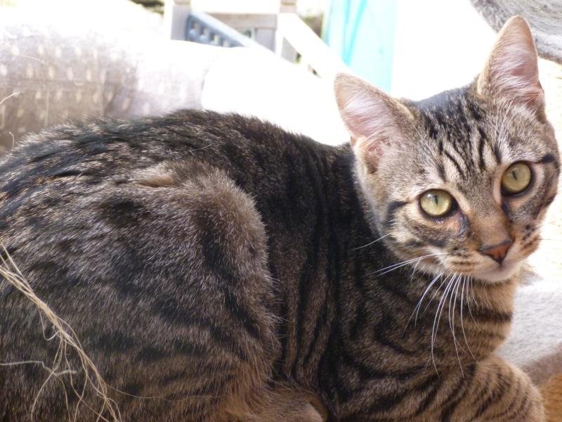 COQUIN, très beau chaton de 3 mois tigré P1020918