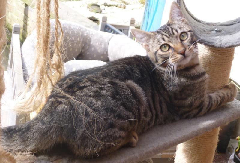 COQUIN, très beau chaton de 3 mois tigré P1020919