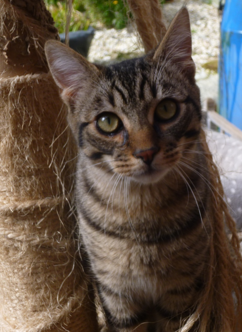 COQUIN, très beau chaton de 3 mois tigré P1020920