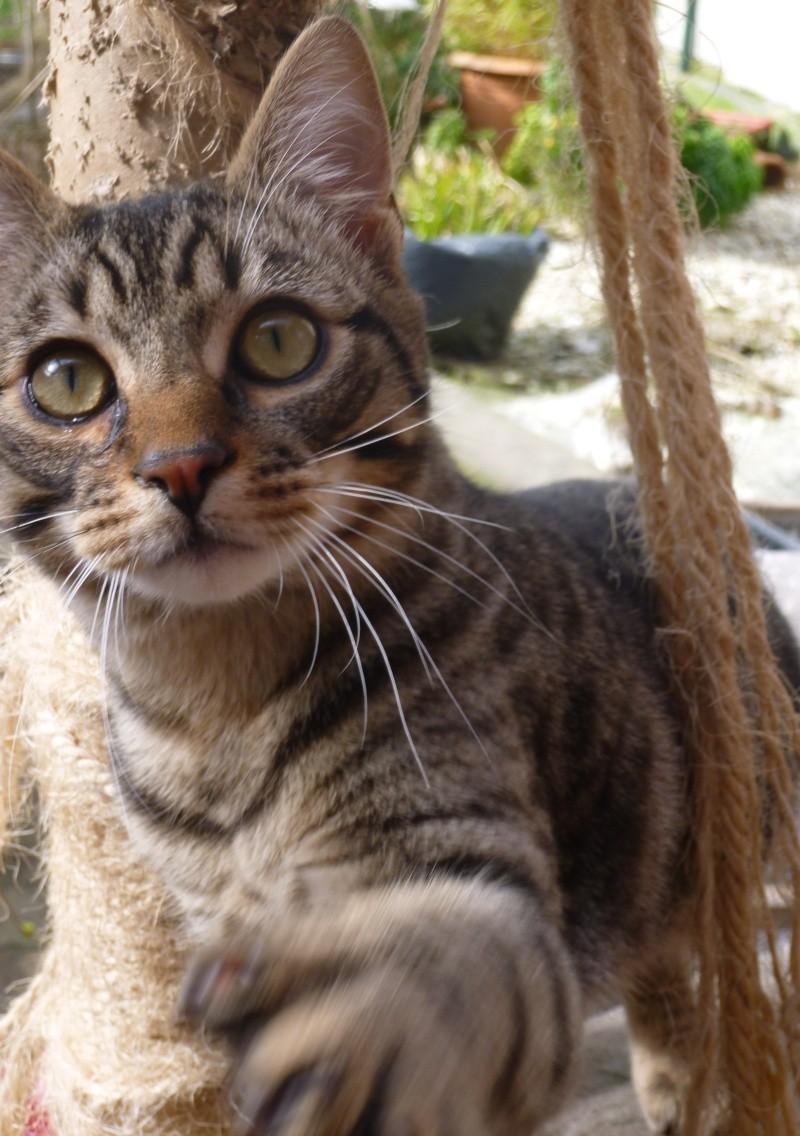 COQUIN, très beau chaton de 3 mois tigré P1020921