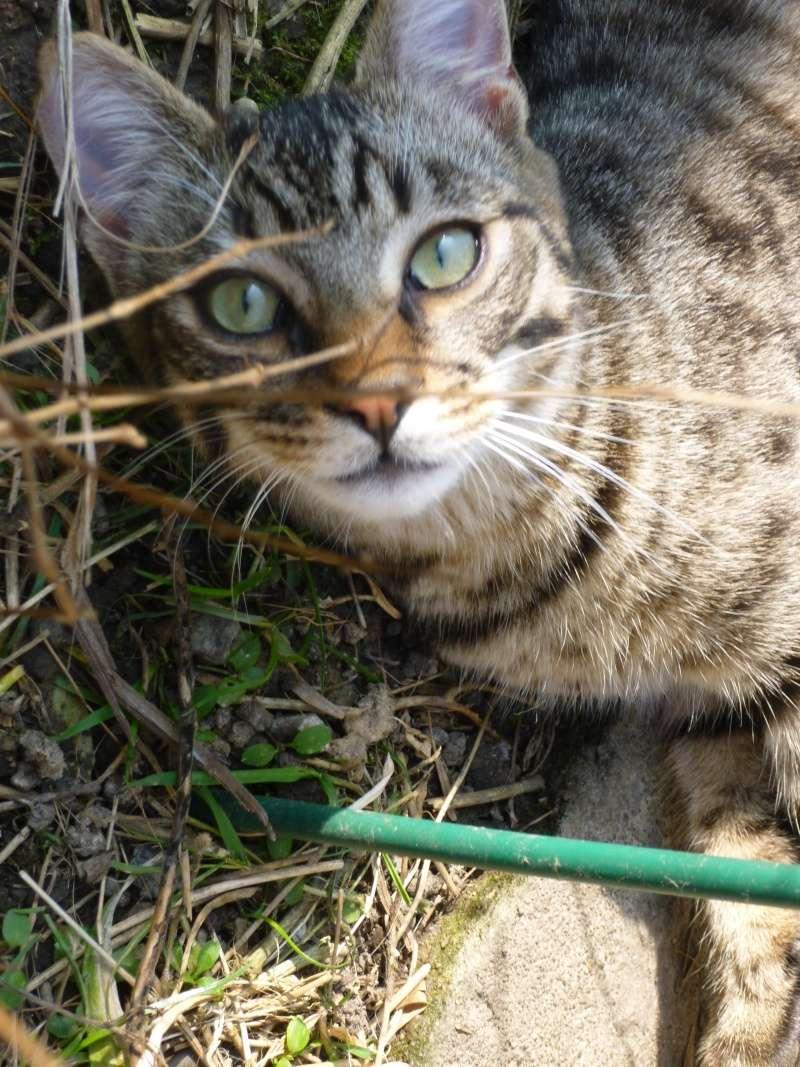 COQUIN, très beau chaton de 3 mois tigré P1030010