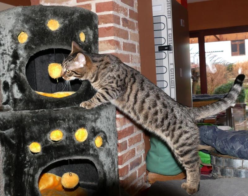 COQUIN, très beau chaton de 3 mois tigré P1070010