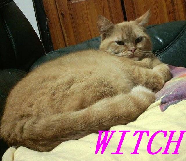 WITCH, très belle chatte de 2 ans roux clair typée British Witch210