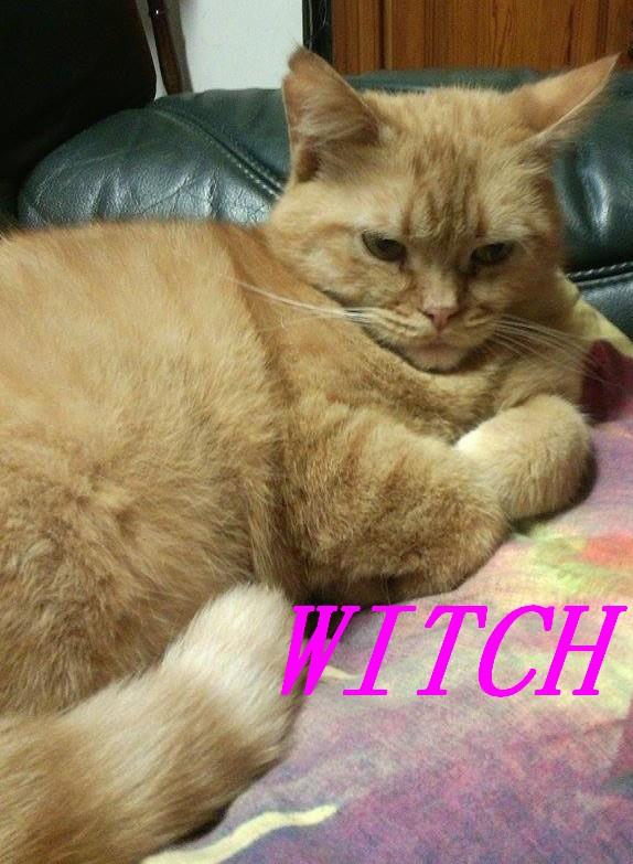 WITCH, très belle chatte de 2 ans roux clair typée British Witch310
