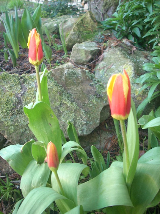 tulipes Tulipe11