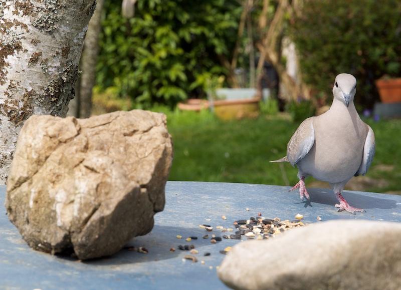 oiseaux au jardin. Wifi_110