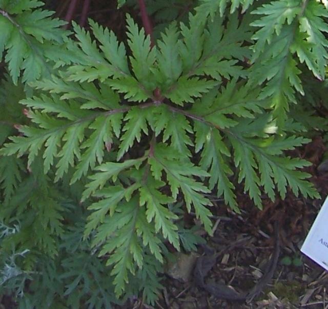 Geranium palmatum Gerani14