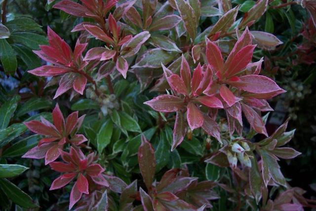 Pieris japonica 'Little Heath Green' Pieris10