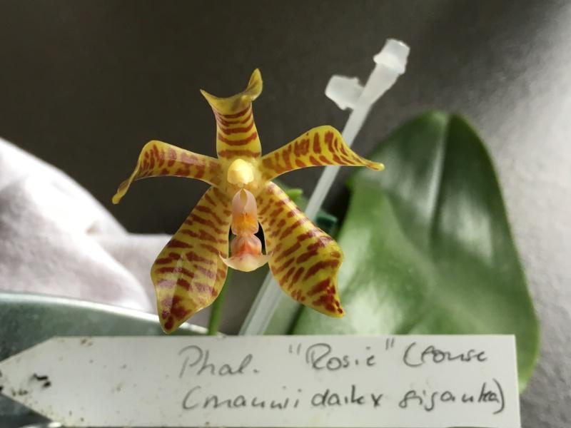 Phalaenopsis gigantea x mannii (Rosie Clouse) 06031612
