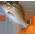 L'étang à poissons [Dans le jardin fermier et aquatique] Redsna10