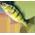 L'étang à poissons [Dans le jardin fermier et aquatique] Yellow11