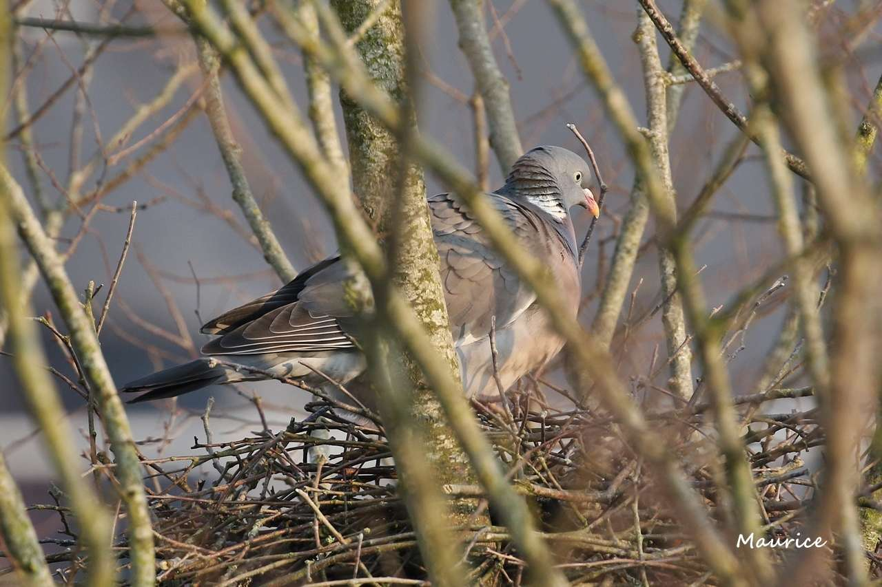 Pigeon et tourterelles vus du 5ème étage - Rennes W83a6810