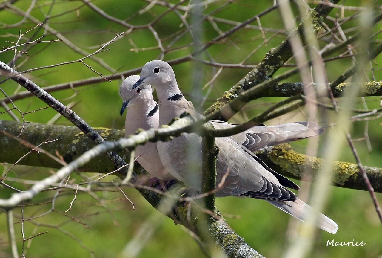 Pigeon et tourterelles vus du 5ème étage - Rennes W83a6811