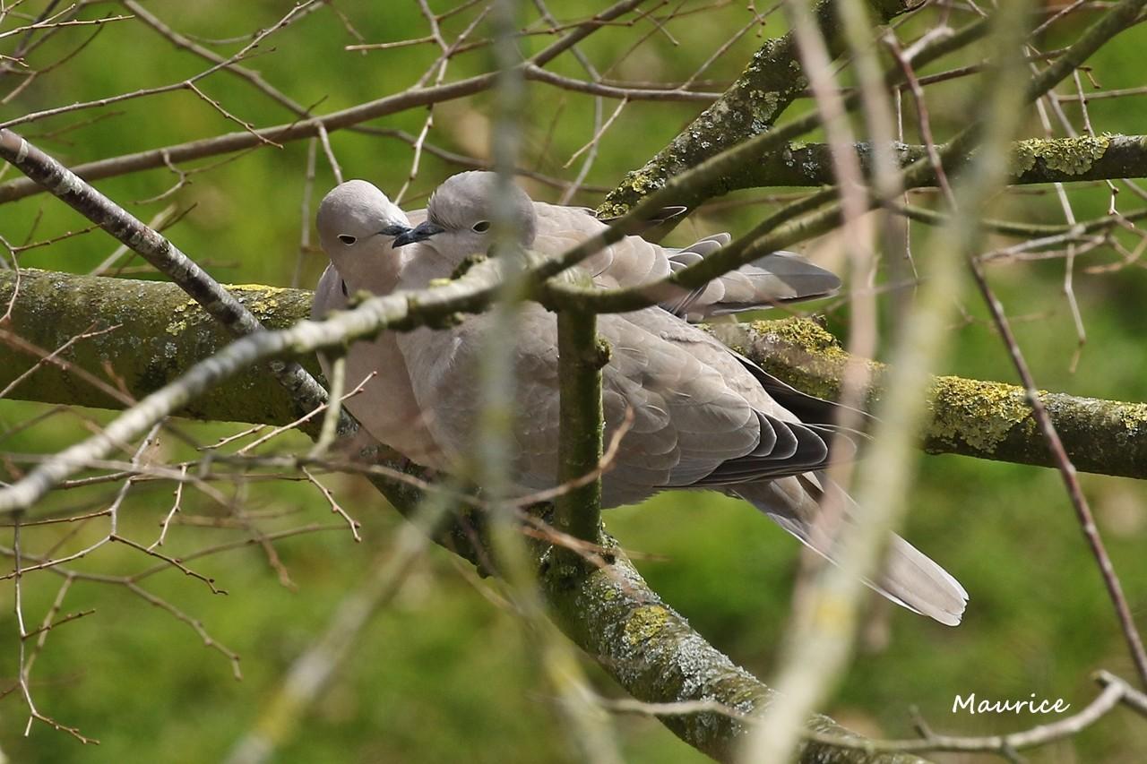 Pigeon et tourterelles vus du 5ème étage - Rennes W83a6910