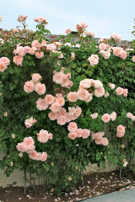rose de Tolbiac Rose_d10