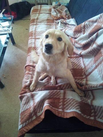 JOYCE, femelle type petit golden, 1 an et demi Bella10