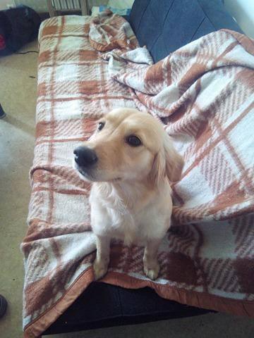 JOYCE, femelle type petit golden, 1 an et demi Bella110
