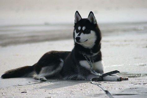 JAYA, femelle husky LOF, 1 an Jaya310