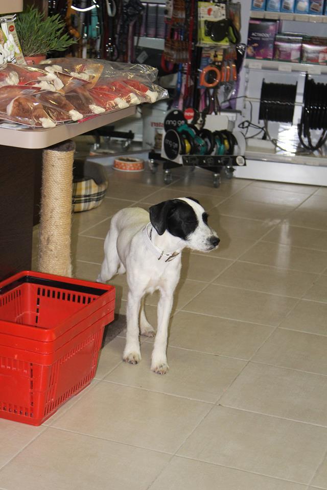 LAYA, femelle croisée caniche/border, 7 mois Laya311
