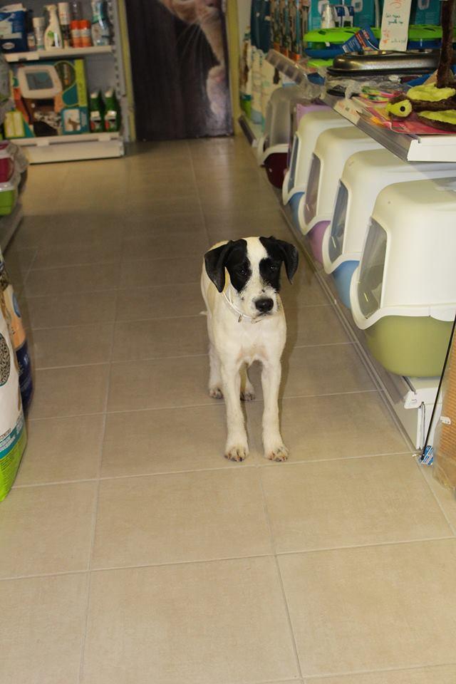 LAYA, femelle croisée caniche/border, 7 mois Laya611