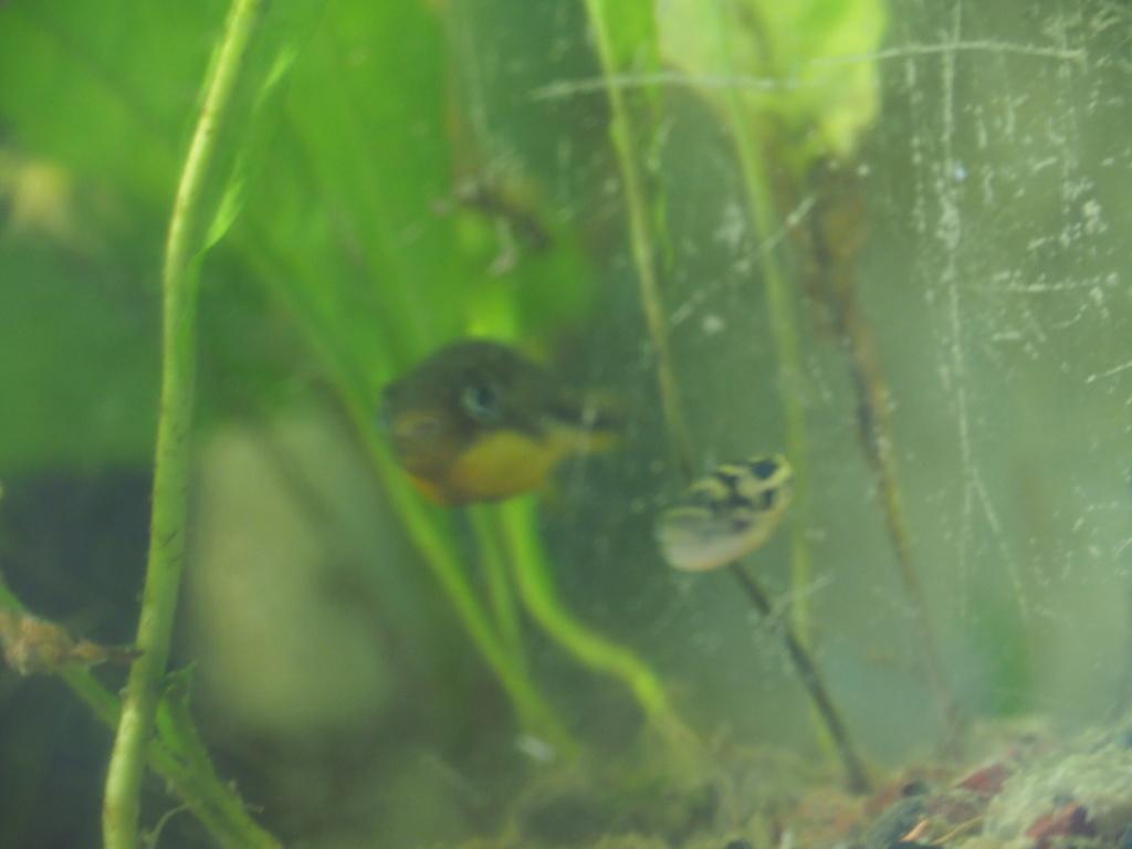 Reproduction Carinotetraodon travancoricus P1030010