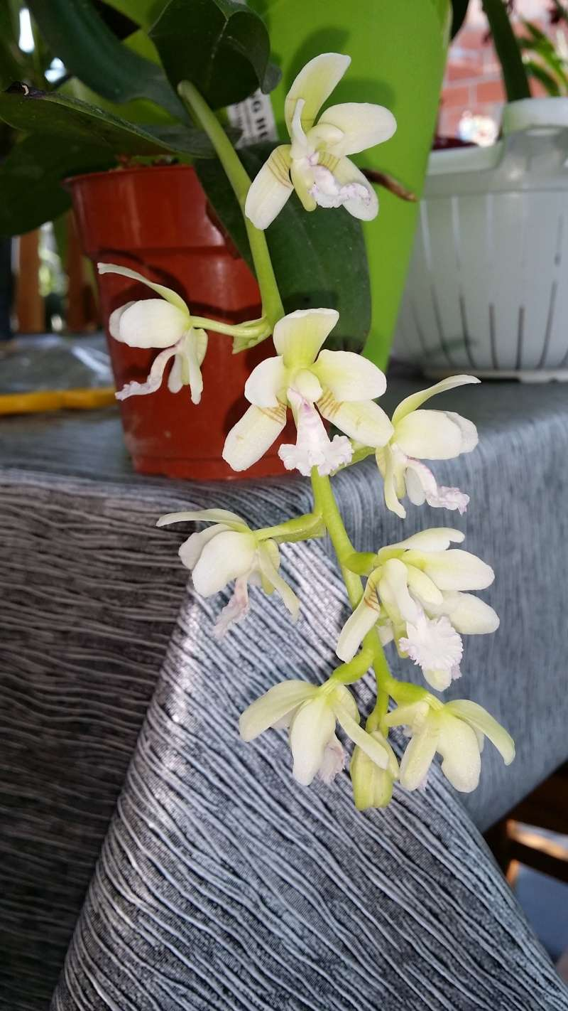 phalaenopsis sedirea japonica 20160311