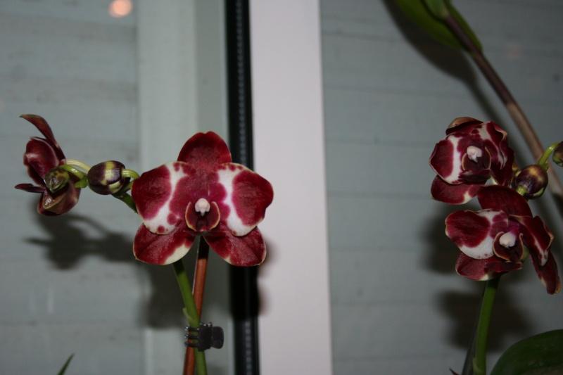 phalaenopsis 1 eres fleur  Img_2712