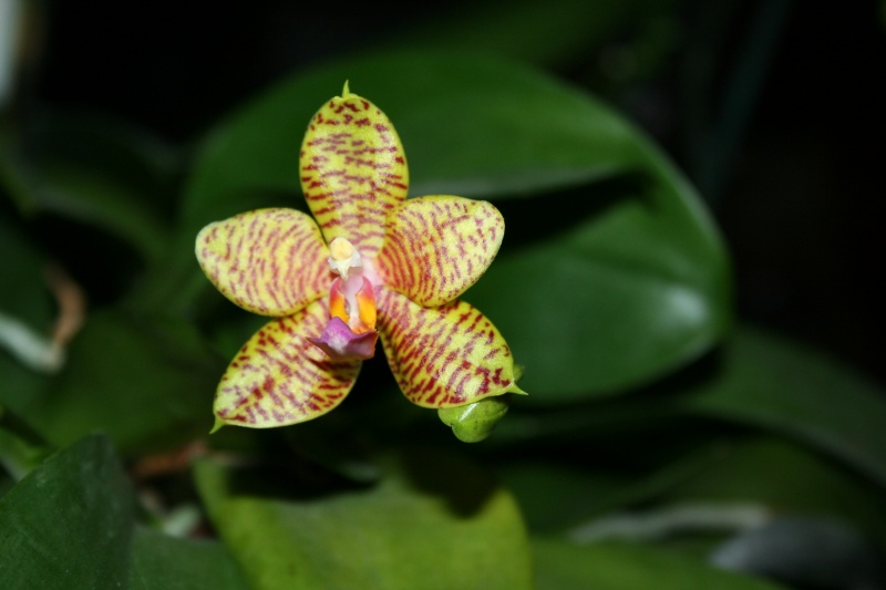 phalaenopsis 1 eres fleur  Img_2713
