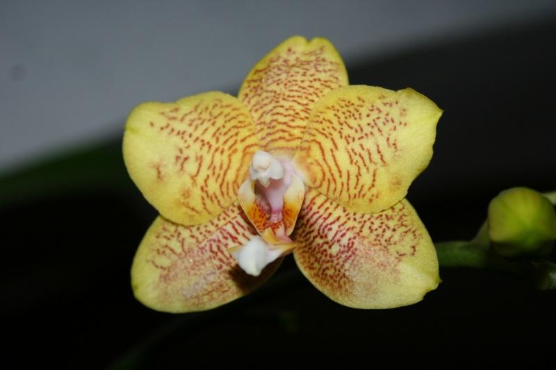 phalaenopsis 1 eres fleur  Img_2714