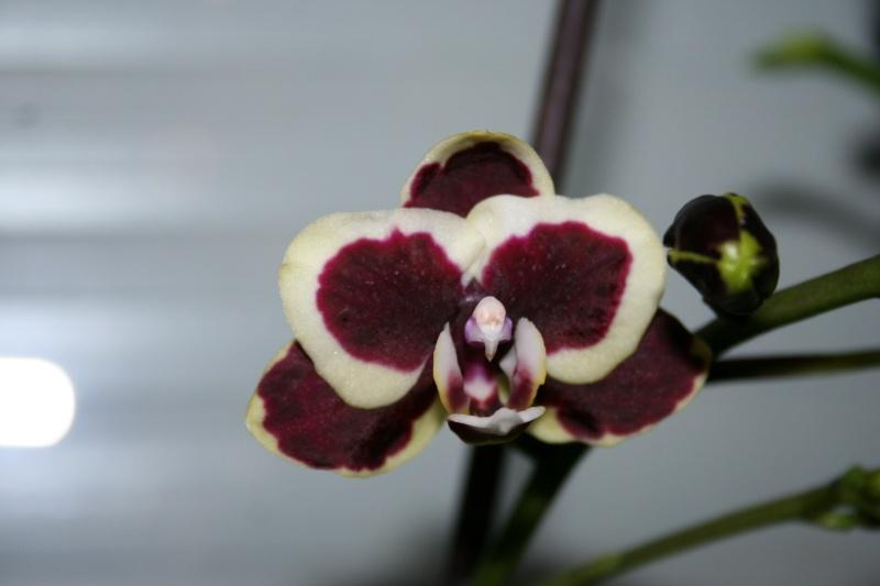 phalaenopsis 1 eres fleur  Img_2718
