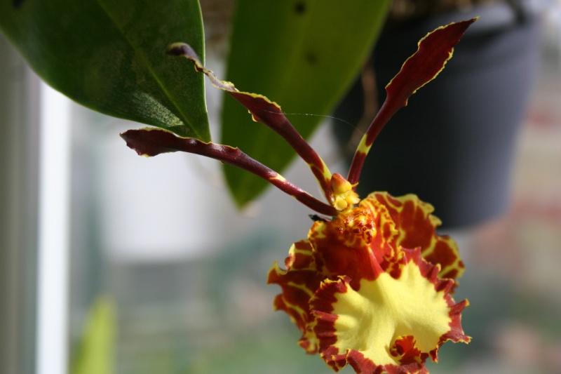 psychopsis mariposa Img_2722
