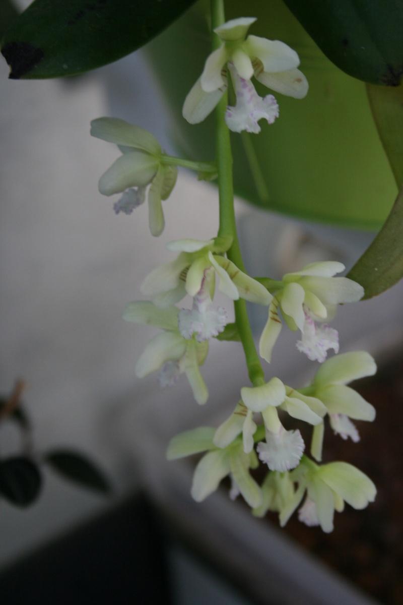phalaenopsis sedirea japonica Img_2812