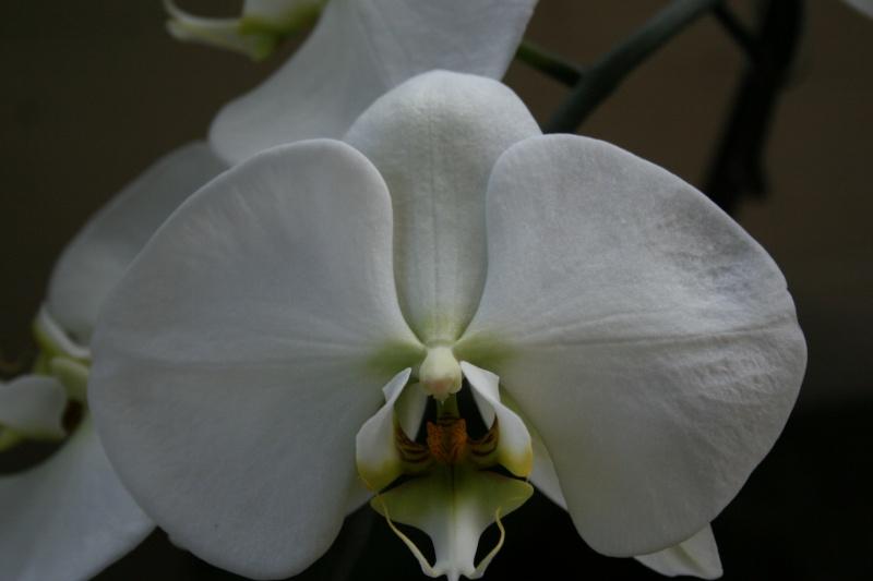 phalaenopsis blanc a fleurs enooooooooormes - Page 3 Img_2813