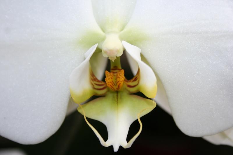 phalaenopsis blanc a fleurs enooooooooormes - Page 3 Img_2814