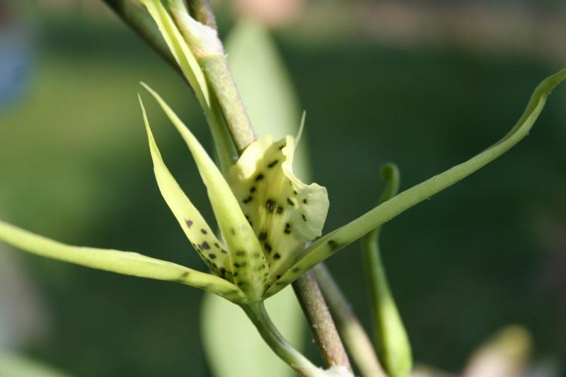 brassia (verrucosa x maculata) x verrucosa Img_2816