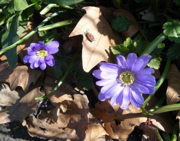 Prémices du printemps Anem10