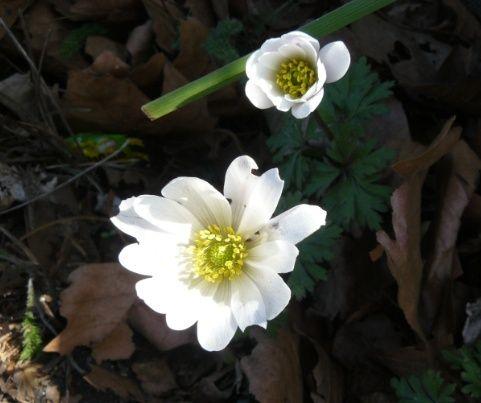 Prémices du printemps Anem_210