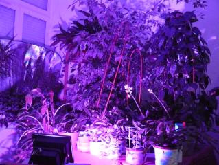 éclairage pour les plantes Lumiyr11