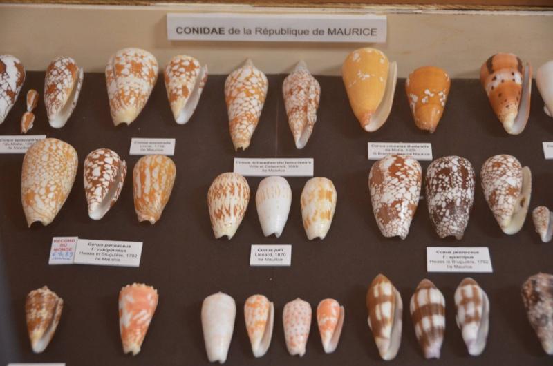 Conus (Darioconus) crocatus   Lamarck, 1810 - Page 4 12823410