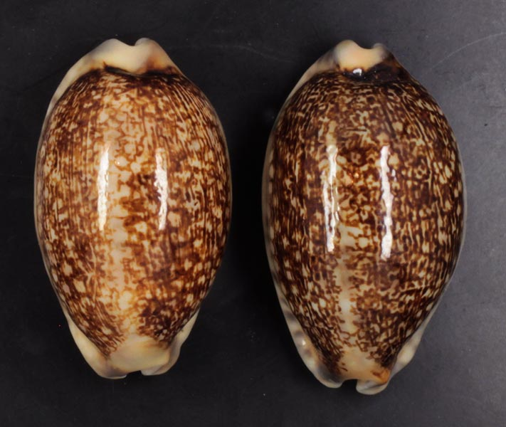 Mauritia eglantina metis - (Duclos, 1833) Eglant10