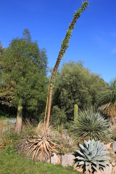 Agave ovatifolia Agave_10