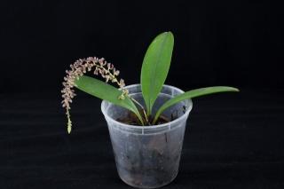 Miniatur-Orchideen Teil 3 - Seite 4 24229710