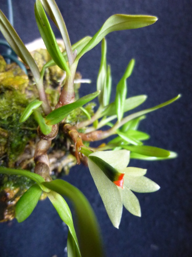 Miniatur-Orchideen Teil 3 - Seite 5 Dendro13