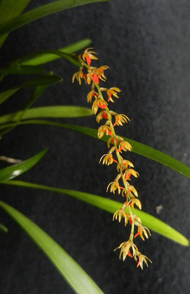 Miniatur-Orchideen Teil 3 - Seite 5 Dendro16