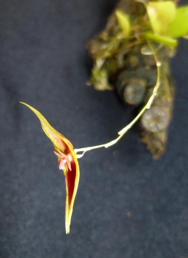 Miniatur-Orchideen Teil 3 - Seite 5 Lepant10
