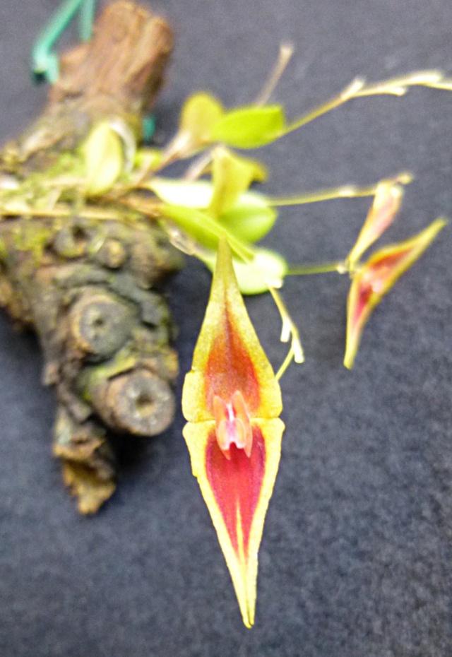 Miniatur-Orchideen Teil 3 - Seite 5 Lepant11