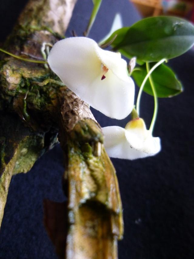 Miniatur-Orchideen Teil 3 - Seite 5 Masdev15