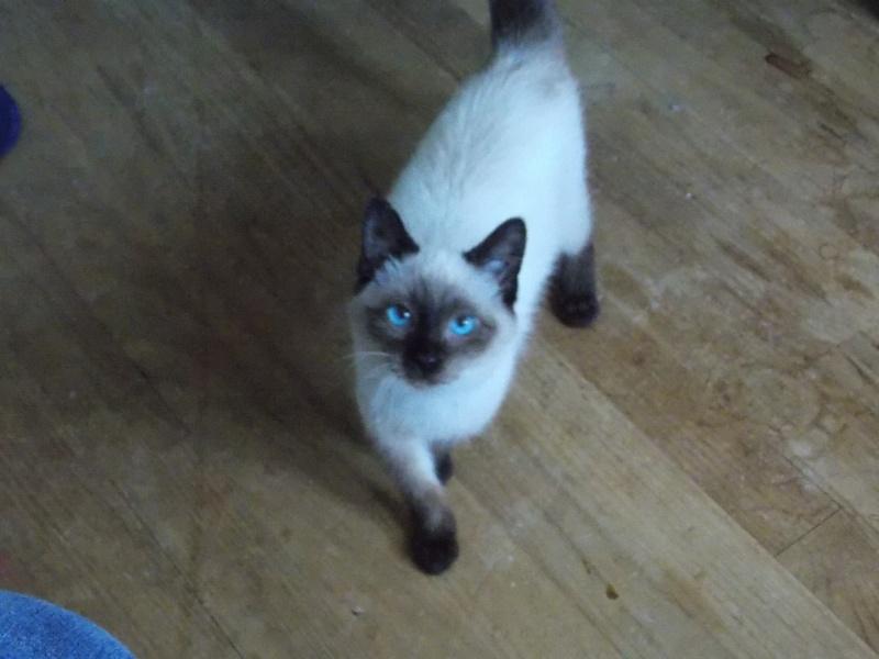 lafayette - Lafayette, chaton  siamois né en novembre 2015 Lafaye15
