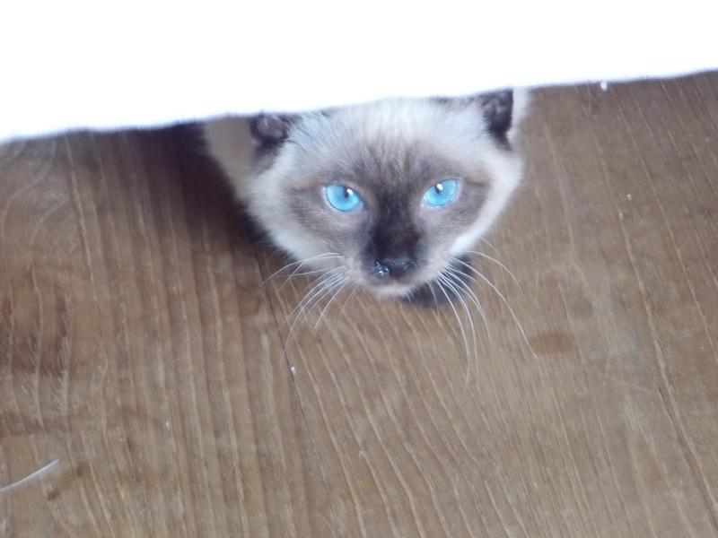 lafayette - Lafayette, chaton  siamois né en novembre 2015 Lafaye16