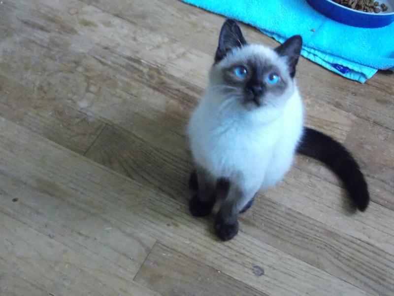 lafayette - Lafayette, chaton  siamois né en novembre 2015 Lafaye17